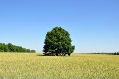 Oak in field Royalty Free Stock Image