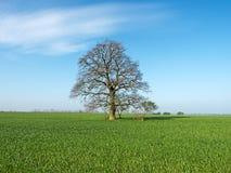 Oak on field Stock Images