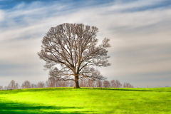 The oak   ( fine art) Royalty Free Stock Images