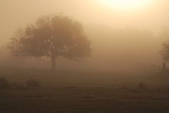 Oak in Foggy Pasture, Central Florida Royalty Free Stock Image