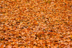 Oak foliage. The fallen down oak foliage. A background Stock Photos