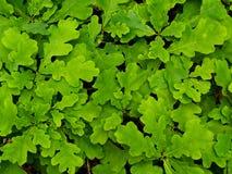 Oak foliage Stock Photos