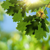 Oak foliage with acorn. As beauty environmental backgrounds Stock Images