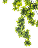 Oak foliage and branches , isolated on white background Stock Images