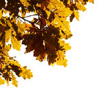 Oak foliage, isolated. Royalty Free Stock Photos