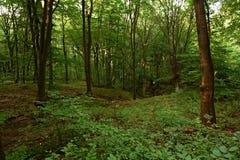 Oak forest Stock Photos