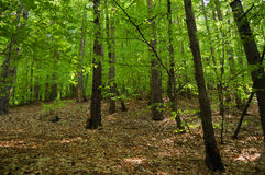 Oak forest. Picture of oak forest, summer time, horizontal Royalty Free Stock Photography