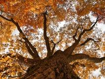 Oak Stock Image