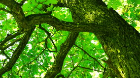 Oak in forest with bright afternoon sun and rays and, rotating stock video footage
