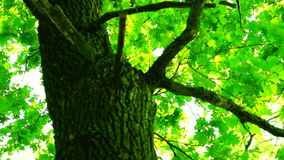 Oak in forest with bright afternoon sun and rays and, rotating. Trees in forest with bright afternoon sun and rays stock footage
