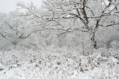 Oak forest with fresh snowfall. Stock Photography
