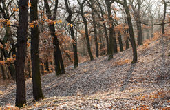Oak forest Royalty Free Stock Images
