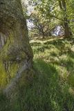 Summer green in Oak Forest at Pityoulish in the Cairngorms. Stock Photography