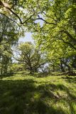Summer green in Oak Forest at Pityoulish in the Cairngorms. Royalty Free Stock Photo