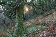 Oak forest with sun peeking through the vegetation royalty free stock photos