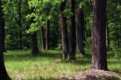 Oak forest Stock Image