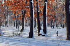 Oak forest in winter Stock Images