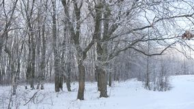 Oak forest Winter trees in the snow nature landscape beautiful background. Oak forest Winter trees in snow nature landscape beautiful background stock footage