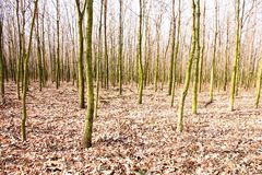 Oak forest Royalty Free Stock Photography