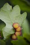 Oak gall Royalty Free Stock Photography