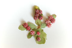 Oak Galls #2 Stock Image