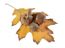 Oak galls ,acorns Stock Photos