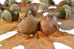 Oak galls ,acorns Stock Images