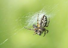 The Oak Garden Spider Royalty Free Stock Photos