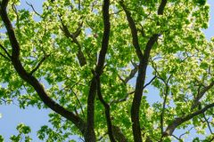 Oak green branches against a blue blue sky in the park in summer stock photos