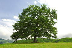 Oak on green hill. Single branchy green old oak on green meadow Royalty Free Stock Images