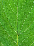 Oak green leaf close up Royalty Free Stock Photography