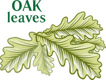 Oak green leaves isolated on white background. Stock Photography