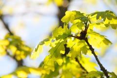 Oak green leaves Stock Photo