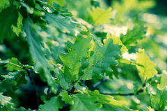 Oak green young leaves Royalty Free Stock Photography