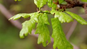 Oak green young leaves close-up in spring morning. Shallow depth of field. Insects on leaves. Background stock video