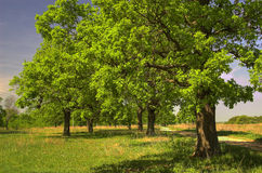 Oak grove Royalty Free Stock Photo