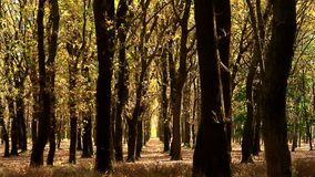 Oak grove in autumn flooded with sunlight stock video footage
