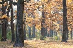 Oak grove in autumn season. Stock Photo
