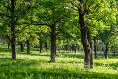 Oak grove with a bright summer day stock photos