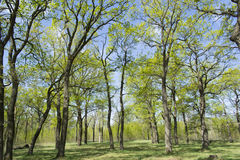 Oak grove in early spring Royalty Free Stock Images