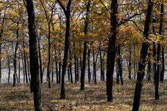 Oak grove with golden foliage, fall Stock Images