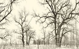 Oak grove in winter. all in the snow Royalty Free Stock Images