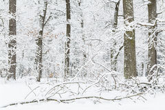Oak grove in the winter. Royalty Free Stock Photography