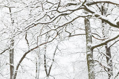 Oak grove in the winter. Royalty Free Stock Photos