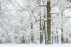 Oak grove in the winter. Stock Images