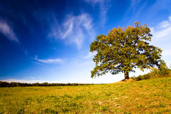 Oak growing in the field Stock Photography