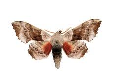 Oak Hawk-moth (Marumba quercus) stock photography