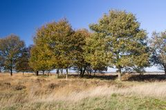 Oak on heathland in Drenthe Stock Photography