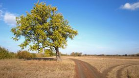 Oak. High oak growing in the field Royalty Free Stock Photos