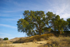 Oak by Hiking Trail Royalty Free Stock Images